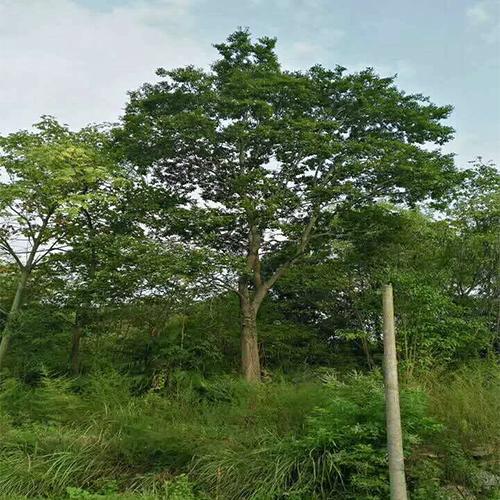 湖南骨架三角枫多少钱一棵、绿化水城!