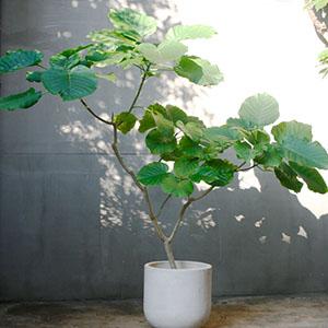 江西观音树培植-阳特口碑杠杠的-绿色环保